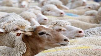 """السماح باستيراد الأغنام بعد رصد """"ارتفاع كبير"""" في أسعار اللحوم"""