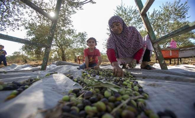 بدء موسم قطف وعصر الزيتون في الأردن